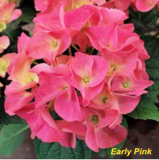 early pink