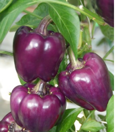 purple blocky capsicum