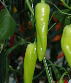 green sweet point capsicum