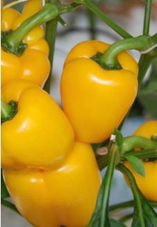 yellow midi blocky capsicum