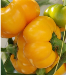 yellow pumpkin capsicum